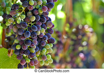 Red and Green Grapes on the Vine