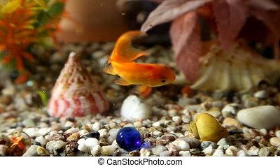 Aquarium - Goldfish in Aquarium
