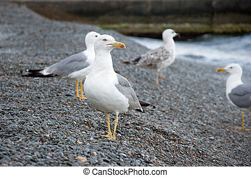 Sea Gull - Gull posing on the beach