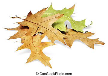 Oak leaves isolated on white background with clipping path