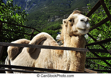 haughty camel - Portret of haughty camel from Yalta Zoo
