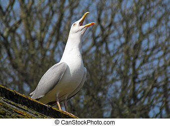 Seagull on roof squawking with beak wide open.