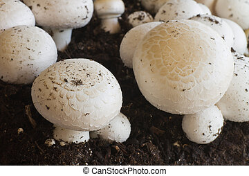 Growing button (field) mushrooms