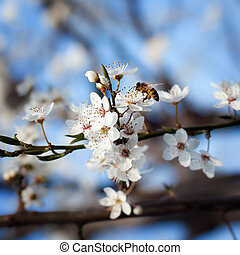 bee on plum flower with pollen in springtime