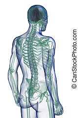 body x-ray perspective back view