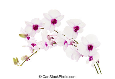 beautiful white; dentrobium orchid with dark purple centers; isolated on white background;