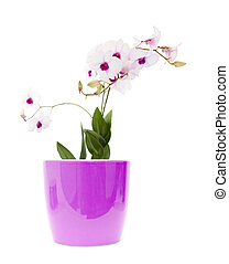 beautiful white; dentrobium orchid with dark purple centers in light lilac pot; isolated on white background