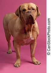 French Mastiff standing against pink background