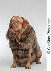 Dog wearing raccoon fur coat - Wrinkled dog wearing raccoon...