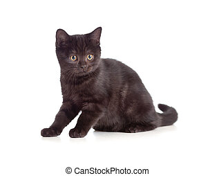 little kitten pure breed black british isolated