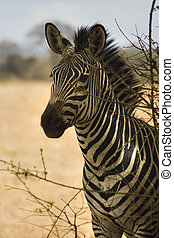 Zebra standing in the shadow of tree in Mikumi National...
