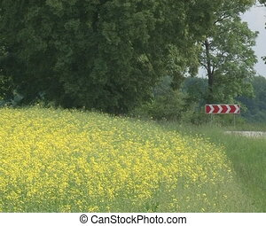 bloom oilseed rape field - yellow blooming oilseed rape...