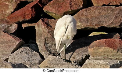 Egret - Cute little egret resting on the rock