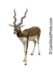 black buck isolated