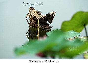 Lotus leaf,