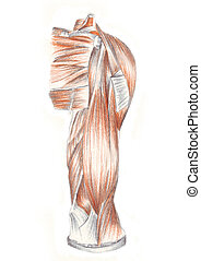 human anatomy - muscles of the arm