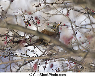 Fieldfare Blackbird sitting in a hawthorn bush. - Fieldfare...