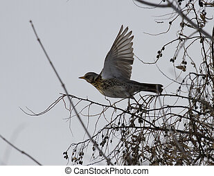 Fieldfare Blackbird taking off from the tree. - Fieldfare...