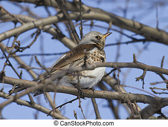 Fieldfare Thrush sitting on a tree branch. - Fieldfare...