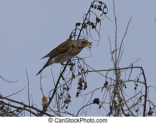 Thrush Fieldfare eating the fruit on the tree. - Thrush...