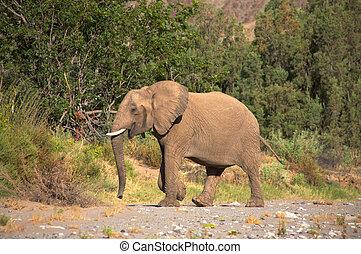 Elephants in the Skeleton Coast Desert - Elephant eating in...