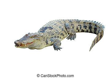 鱷魚, 被隔离