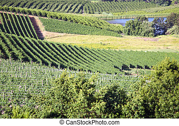 Landscape of the wineries - Panorama of a vineyard in the...