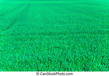 Fodder plants in the field in the spring