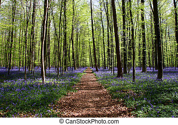 Bluebell forest - Bluebell in the forest of Halle - in...