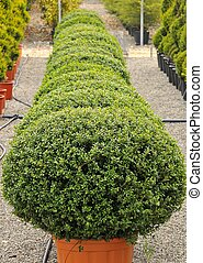 Buxus Pumila - view of ornamental plants in the nursery...