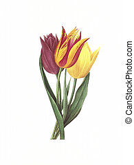 flower antique illustration tulipe
