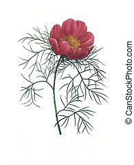 flower antique illustration peonia