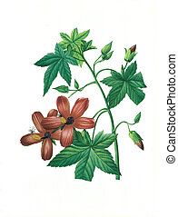 flower antique illustration hibiscus