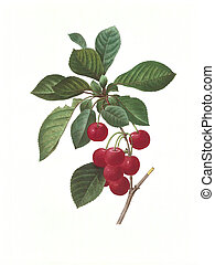 flower antique illustration cherry