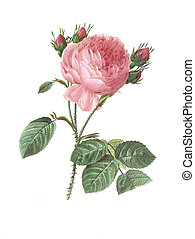 flower antique illustration rosa centifolia - Antique...