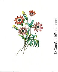 flower antique illustration anemone etoilee - Antique...