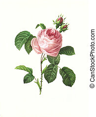 flower antique illustration rosa centifolia