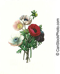 flower antique illustration anemone simplex - Antique...