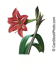 flower antique illustration amaryllis bresilienne - Antique...
