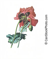 flower antique illustration papaver