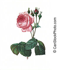 flower antique illustration rosa centifolia bullata