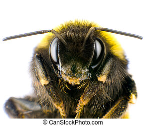 Ultra Macro of Bumblebee Head with Antennas Isolated on...