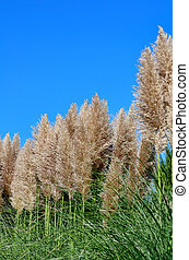 Pampas Grass Taken against the backdrop of blue sky