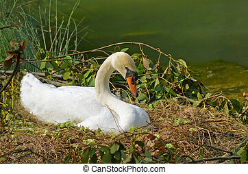 wild swan brooding on the nest in the marsh