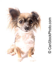 Longhaired chihuahua - Cute little long haired chihuahua...