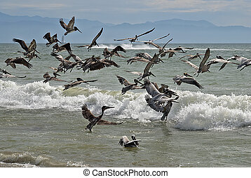 Pelicans taking flight - Flock of brown pelicans taking...