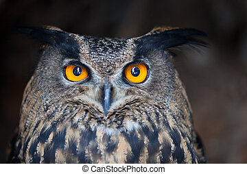 Closeup of a Eurasian Eagle-Owl Bubo bubo