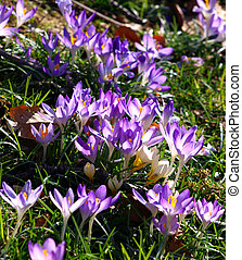 Beautiful violet crocus flowers in the garden. Sign of...