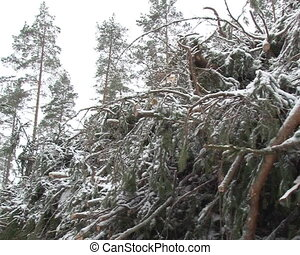 bunch tree branches snow - bunch of snow covered coniferous...