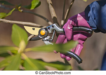 pruning shrubs with sharp pruners